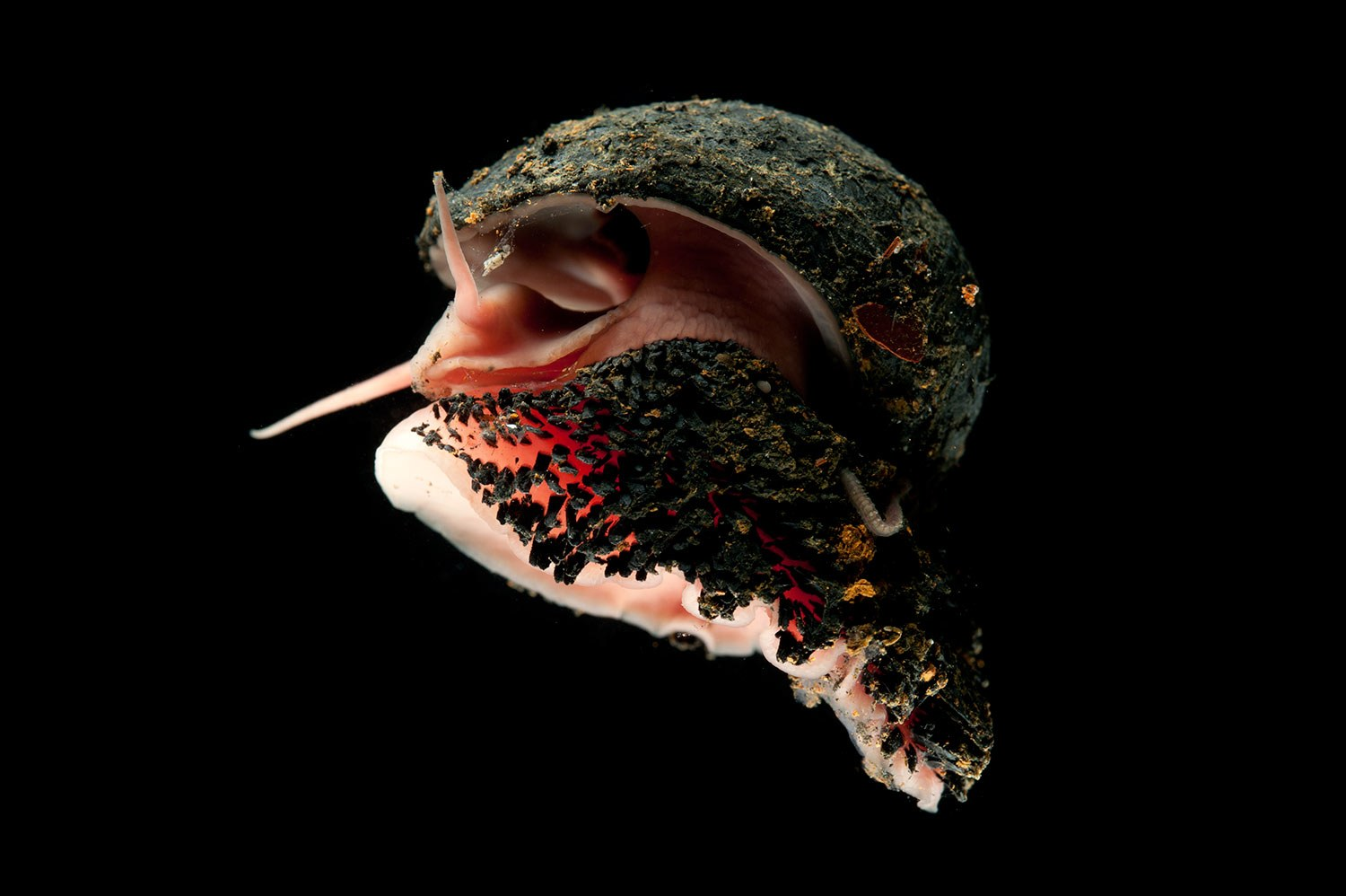 Tough shell to crack: The deep-sea snail made of iron